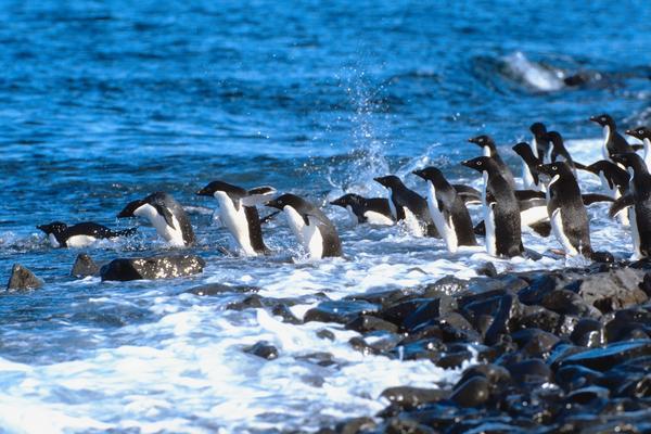 penguin fly dive